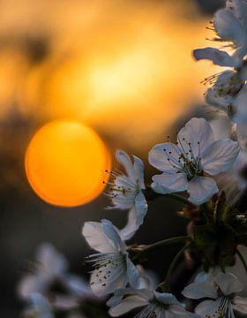 Blüte in der Betuwe von Yannai van der Werff