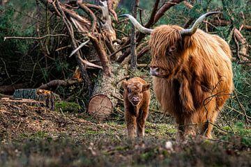 Schottische Hochlandbewohner von leon brouwer