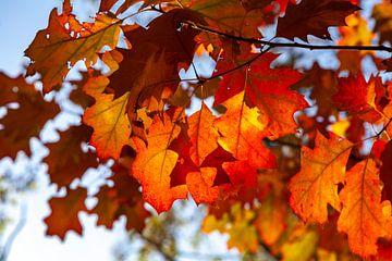 Herfstbladeren in de zon van