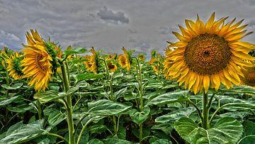 Sonnenblumen von Tineke Visscher