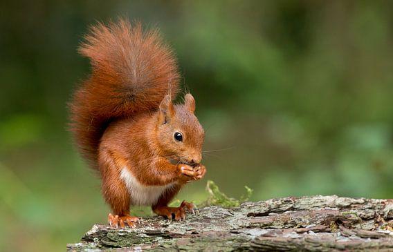 Jonge eekhoorn van Menno Schaefer