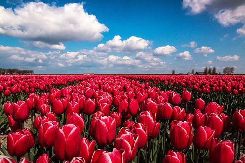 Dutch tulip field van