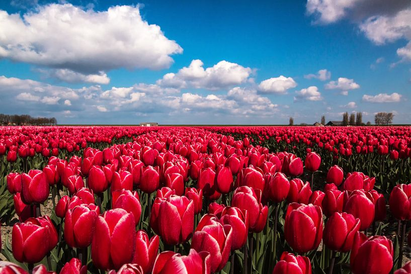 Dutch tulip field van Ilya Korzelius