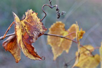 Druivenrank in de herfst van Anouschka Hendriks
