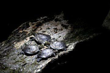 Schildpadden van Emma Wilms
