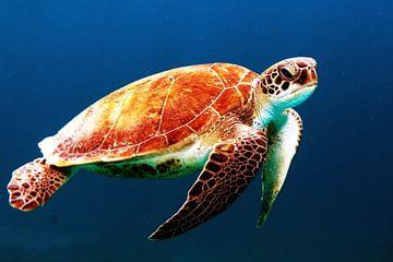 Schildkröte von Walljar