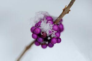 Paarse besjes in de sneeuw