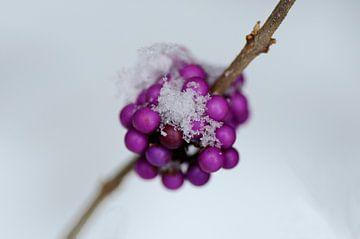 Lila Beeren im Schnee von Thomas Poots