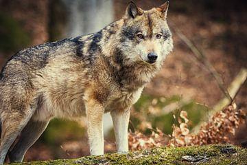 Wolf op de steen in de herfst van Tobias Luxberg