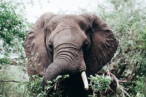 Afrikaanse Olifant in de Bossen van Krugerpark