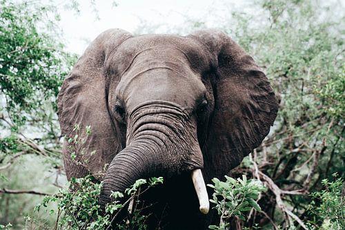 Afrikaanse Olifant in de Bossen van Krugerpark van Thomas Bartelds