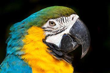 Ara-Papagei Nahaufnahme! von Jimmy van Drunen