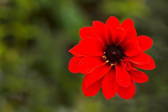 Dahlia rood van Greetje van Son