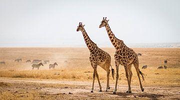 Giraffen auf der Masai Mara von Van Renselaar Fotografie