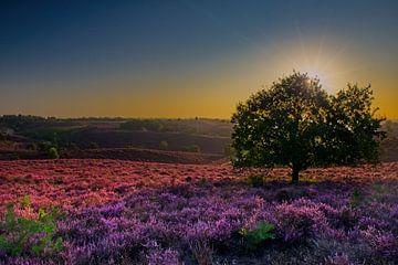 Blühendes violettes Heidekraut von Dirk-Jan Steehouwer