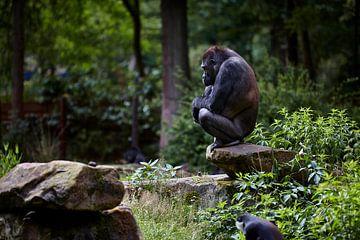 Gorilla von Graham Forrester