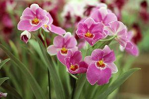 The Purple Lelies