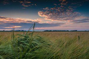Korenaar bij zonsondergang