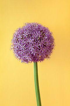 Allium sur Atelier Meta Scheltes
