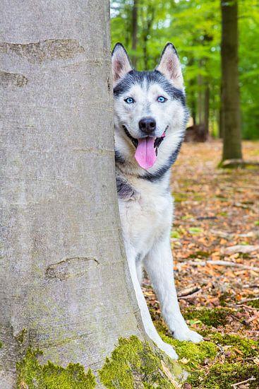 Husky hond kijkt van achter boomstam in bos