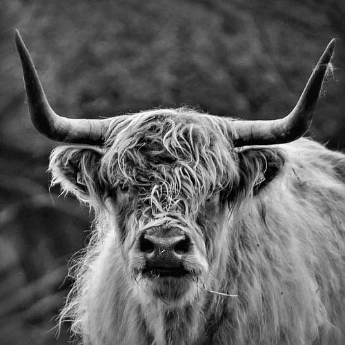 Schotse Hooglander in zwart wit