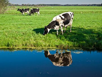 Koe von jeroen de haan