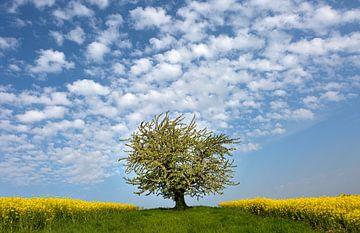Blühender Baum zwischen Rapsfeldern von Elke Wolfbeisser