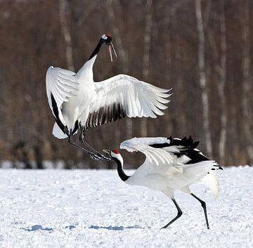 Red-crowned Crane, Chinese Kraanvogel, Grus japonensis sur AGAMI Photo Agency