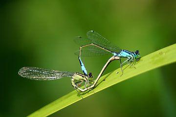 Libellen-Liebe von Masselink Portfolio