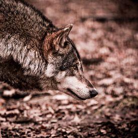 Eurasian Wolf van Mark Zanderink