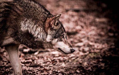 Eurasian Wolf van