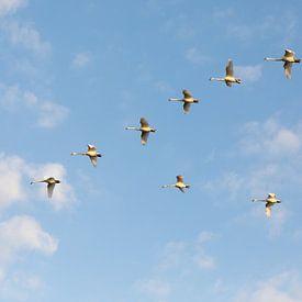 Swans in the air sur Marijke van Eijkeren