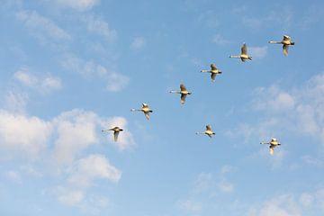 Een vlucht zwanen van Marijke van Eijkeren