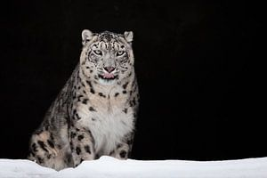 geleckt. Der Schneeleopard ist ein mächtiges und schönes Raubtier im Schnee vor einer dunklen Felshö
