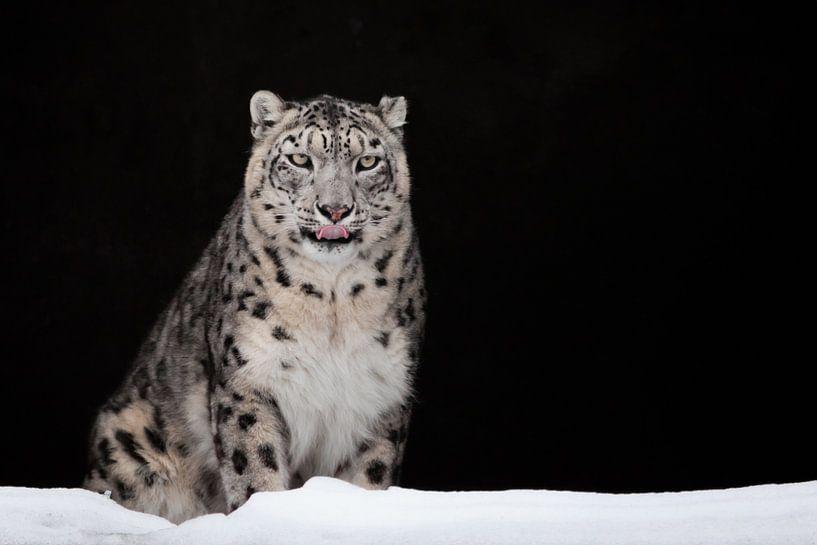 geleckt. Der Schneeleopard ist ein mächtiges und schönes Raubtier im Schnee vor einer dunklen Felshö von Michael Semenov