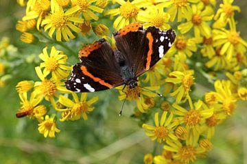 Admiraalvlinder of Vanessa atalanta op gele bloemen von W J Kok