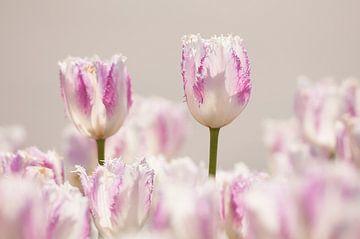 Tulpen efteling van Nancy van Verseveld