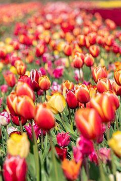 Tulpenveld in de Bollenstreek van Hélène Wiesenhaan
