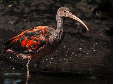 Ibis rouge : le parc animalier de Old Hand sur Loek Lobel