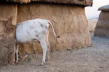 Koe bij de Masaï van Herman van Ommen