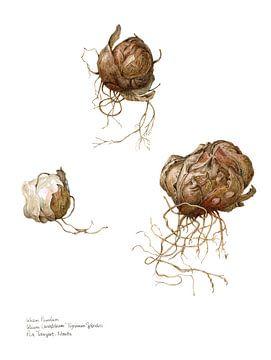 Lelie, Lillium pumilum van Ria Trompert- Nauta