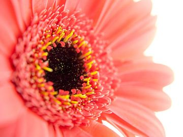Fel roze bloem met donker hart van Noud de Greef