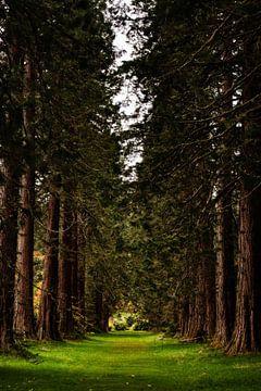 Hohe Bäume - Redwood Avenue in den Benmore Botanic Gardens in Schottland von RUUDC Fotografie