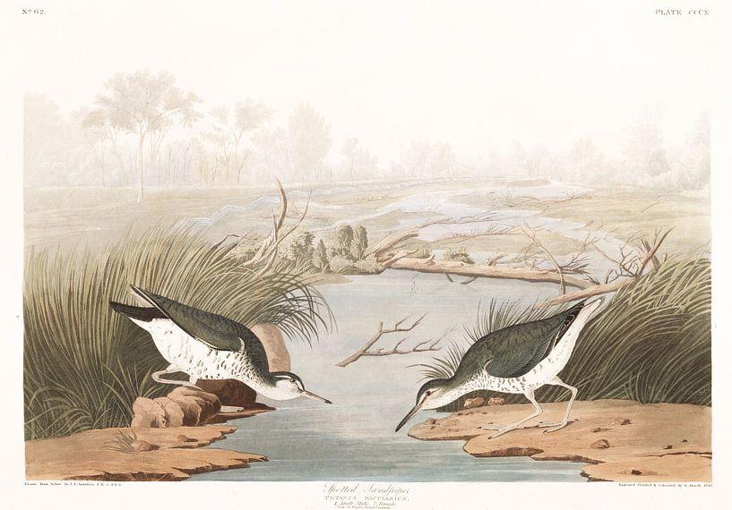 Drosseluferläufer von Birds of America