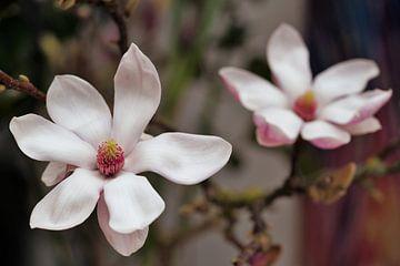 Magnolia in bloei van Excellent Photo