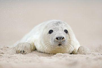 Kegelrobbe ( Halichoerus grypus ), Baby in weißem Lanugo-Fell, im weichen Sand der Nordsee auf der H von wunderbare Erde