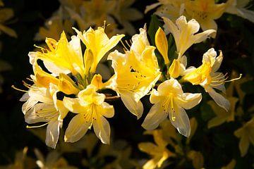Blühende Azalee von Robbert Strengholt