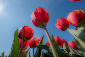 Tulpen 01 van Moetwil en van Dijk - Fotografie