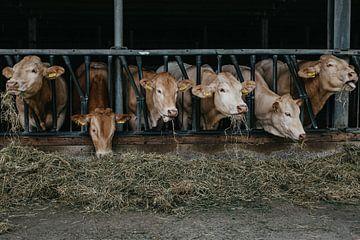 Koeien op stal Zuid-Limburg van Huib Vintges