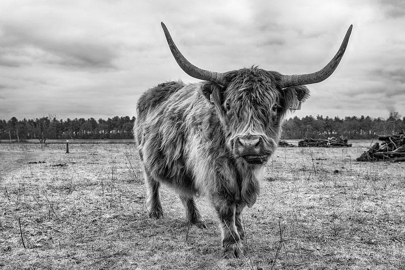 Schottischer Highlander von Mark Bolijn